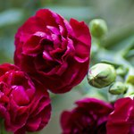 Close-up of beautiful red carnations.