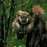 An ominous horned owl.