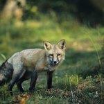 A red fox walks through a forest.