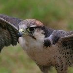 A sparrow hawk.
