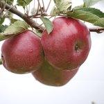 Ida Red apples on tree