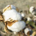 Egyptian cotton is said to get softer with use and washing.