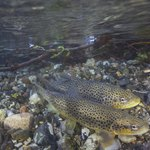 Close-up of two brown spotted trout