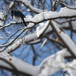 A blue jay in a tree.