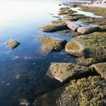Seaweed is common along Maine's rocky shore.