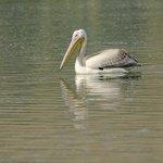A pelican fishing.
