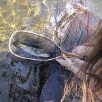 Woman removing dead trout from water