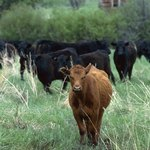 While much of the farmland is dedicated to growing corn and other cash crops, the West also boasts a number of large cattle ranches.
