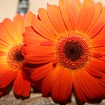Gerbera daisies add bright color to a floating arrangement.