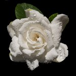 Gardenias add fragrance and beauty to an arrangement.