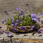 Consider a potted violet in lieu of a bouquet.