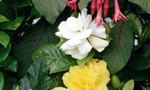 Outdoor Begonia Care | Outdoor Begonia Care