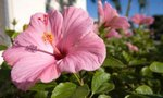 Hibiscus | How Big Does a Hibiscus Get & Does it Spread?