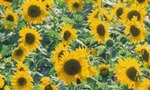 Sunflower Garden | How to Make a Sunflower Garden