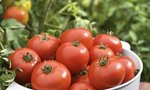 Tomato Plants | How Long Does It Take for Tomato Plants to Have Tomatoes?
