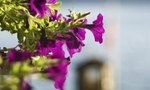 What Causes Petunias | What Causes Petunias to Die or Not Thrive?