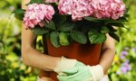 Pots | How to Grow Begonias in Pots