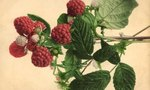 Fertilizer | What to Use for Fertilizer on Raspberry Plants