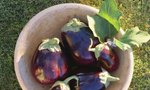 Water Eggplants | When to Water Eggplants