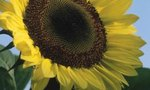 What Plants Grow | What Plants Grow Well with Sunflowers?