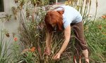 Prune Red Fountain Grasses | How to Prune Red Fountain Grasses