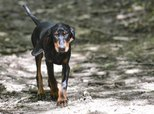 Can Coonhound Paralysis Be Transmitted From Dog to Dog?