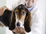 Can Dogs Be Sore After Yearly Vaccinations?