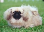 Which Came First: Tibetan Spaniels or Pekingese?