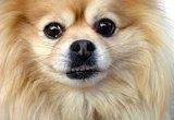 How to Detangle Pomeranian Fur