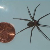 Brown Recluse Spider Compared to a U.S. Penny
