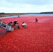 Cranberries & Weight Loss
