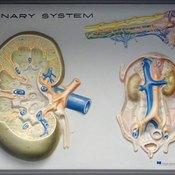 Bruised kidneys pose health risks.