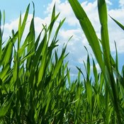 """Wheatgrass is often ground into a liquid and taken as a """"shot."""""""