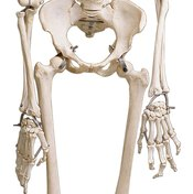 The skeleton is the framework that supports and protects the body.