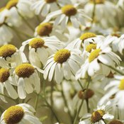 Chamomile comes from the same plant family as daisies.