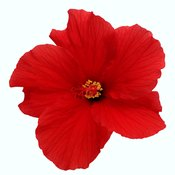 Hibiscus is high in iron.