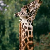 Imitate a giraffe stretching and lengthening its neck.