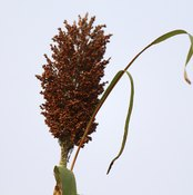 Guinea corn provides a variety of essential nutrients.