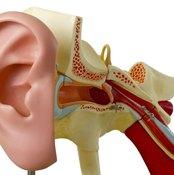 Model of human ear.