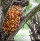 A cluster of palm fruit growing on a palm tree.