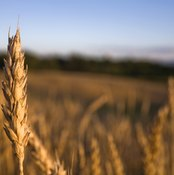 Close-up of wheat in field.