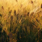 Barley contains heart-healthy fiber.
