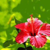 Hibiscus and rosehips make a sour, healthy herbal tea that can provide lots of potent antioxidants.