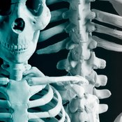 The clavicle, or collarbone, is the beginning of many muscle groups.