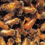 Honey bees keep their stinger hidden in the tip of their abdomen.