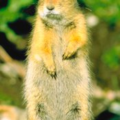 """The """"picket pin"""" posture enables ground squirrels to see better."""
