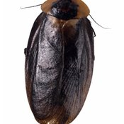 Most adult cockroaches have wings.
