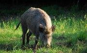 Illinois Boar Hunting
