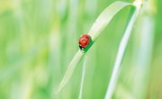 How to Find Aphids for My Ladybug