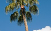 Are Palm Trees Monocots?